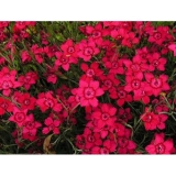 dianthus deltoides confetti tiefrot