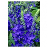 Veronica austriaca 'Royal Blue'
