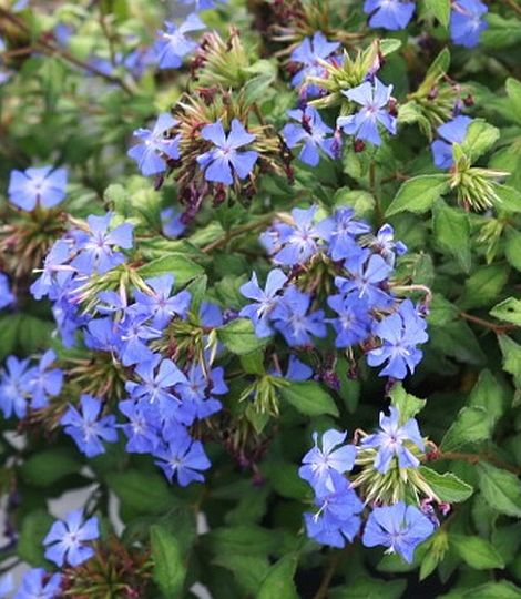 CERATOSTIGMA willmottianum FOREST BLUE® 'Lice'