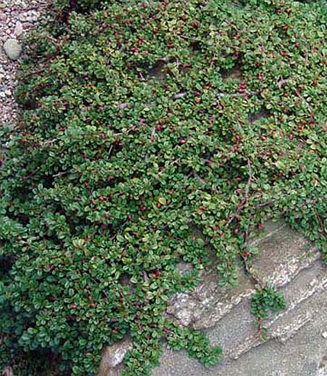 Cotoneaster queen of carpet