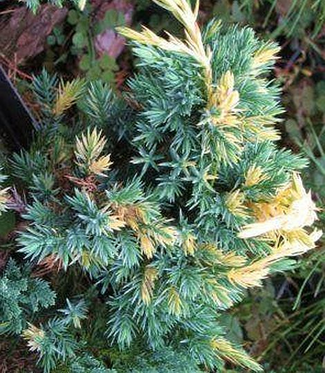 Juniperus squamata 'Golden Flame'