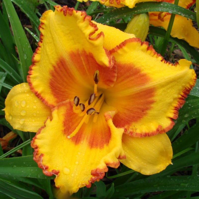 Hemerocallis 'Prince of Orange'