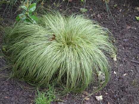 "Carex comans ""frosted curls"""