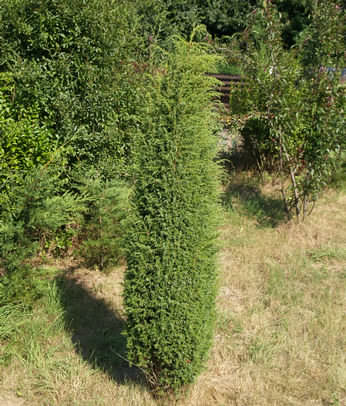 juniperus communis hibernica obchod rastl n. Black Bedroom Furniture Sets. Home Design Ideas