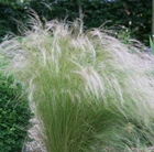 STIPA tenuissima 'Pony Tail'