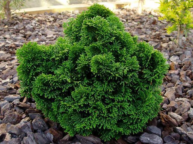 chamaecyparis obtusa nana gracilis obchod rastl n. Black Bedroom Furniture Sets. Home Design Ideas