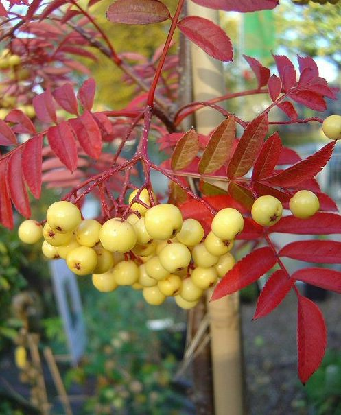 SORBUS a. 'Golden Wonder'