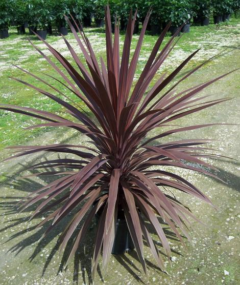 Cordyline 'Red Star'  AKCIA