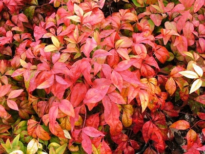 Nandina domáca 'Fire Power'