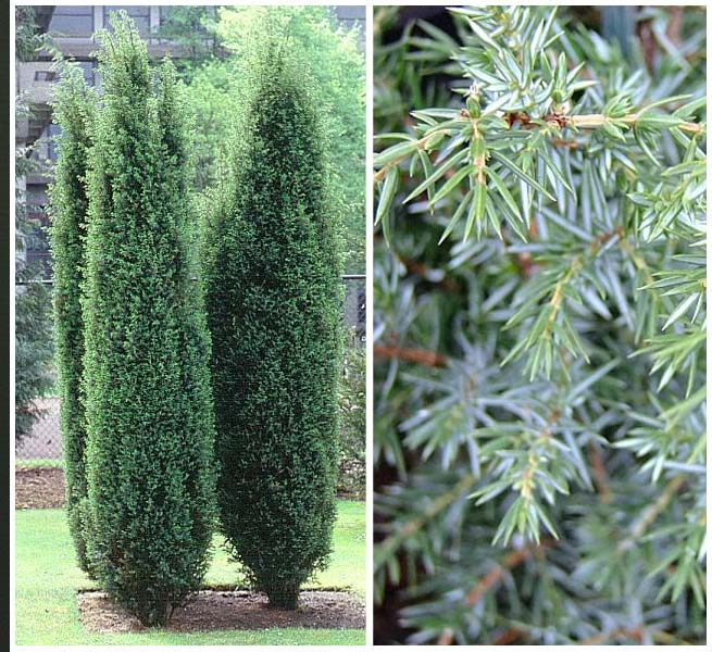 juniperus communis hibernica obchod rastl n. Black Bedroom Furniture Sets. Home Design Ideas