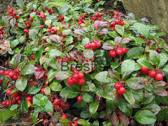 Wintergreen, Checkerberry, Tea-berry, Partridge-berry