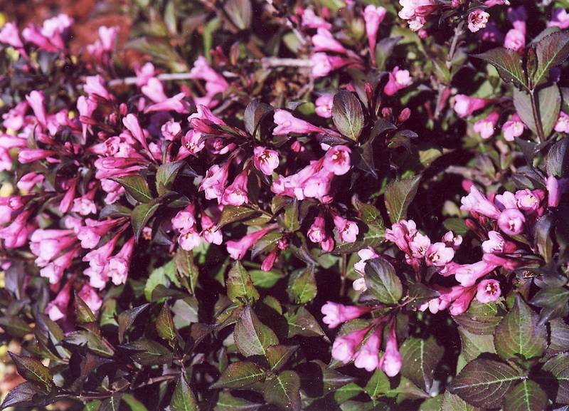 weigela florida 39 nana purpurea 39 obchod rastl n. Black Bedroom Furniture Sets. Home Design Ideas