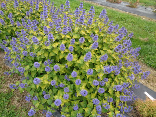 caryopteris x clandonensis good as gold