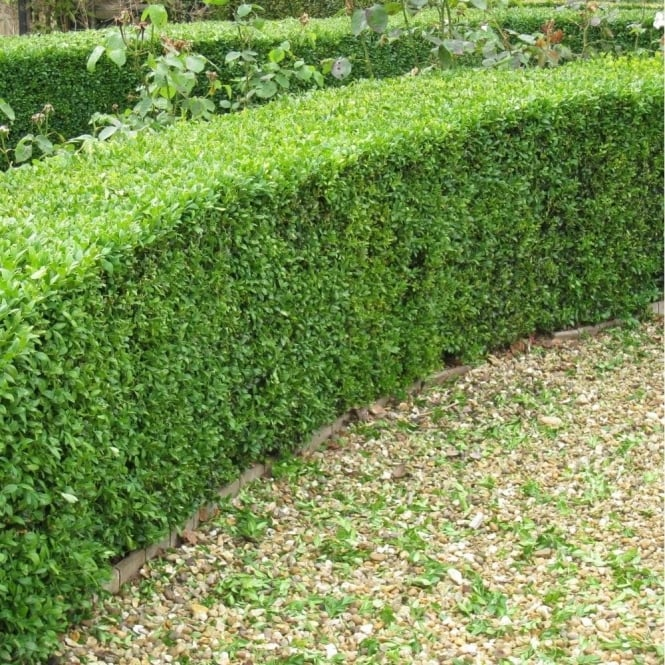 Buxus Sempervirens Extra