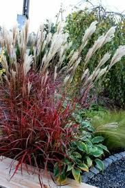 miscanthus dronning ingrid