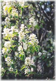 Amelanchier aln. 'Thiessen'