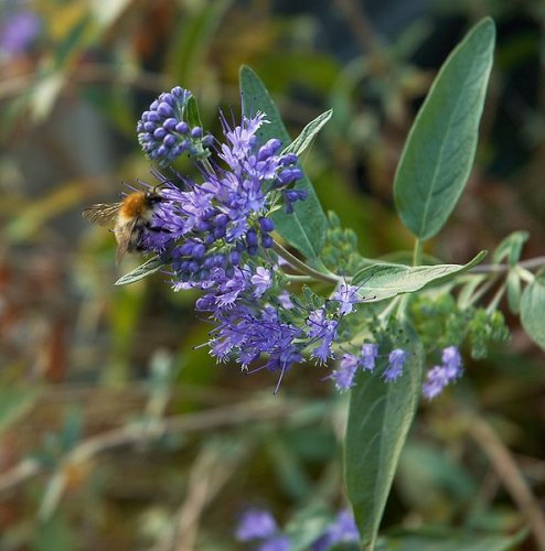 "caryopteris clandonensis ""heavenly blue"""