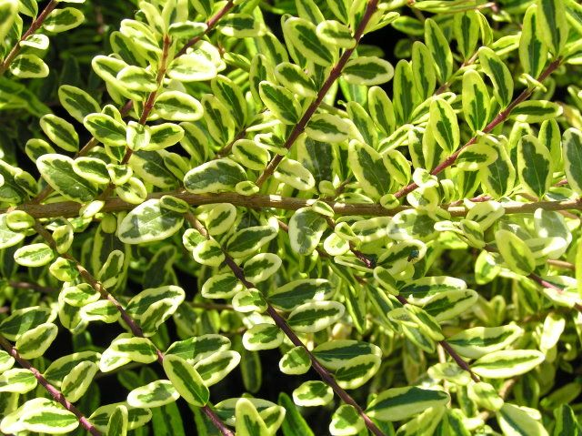 LONICERA nitida 'Lemon Beauty'