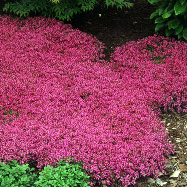 thymus praecox creeping red