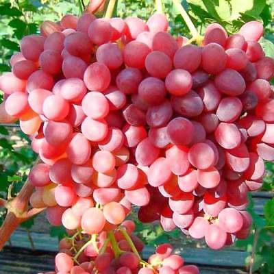 Vitis vinifera ´Einset Seedless´