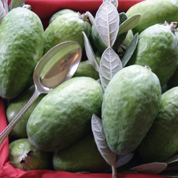 FEIJOA sellowiana 'Mammouth'