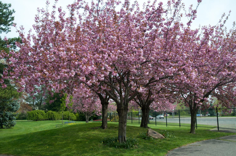 Prunus serrulata 39 kanzan 39 obchod rastl n - Ciliegio da giardino ...