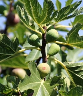 Ficus carica 'Brown Turkey'  Strom