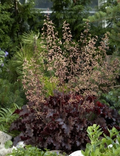 heuchera americana melting fire 1