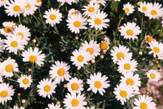 leucanthemum maximum snow lady
