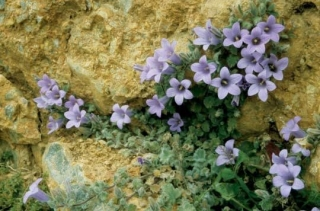 Aubrieta deltoides 'Blue Beauty'