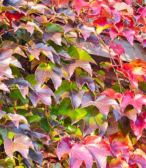 parthenocissus tr. 'veitchii boskoop'